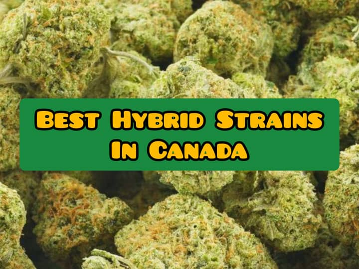 best hybrid strains in canada