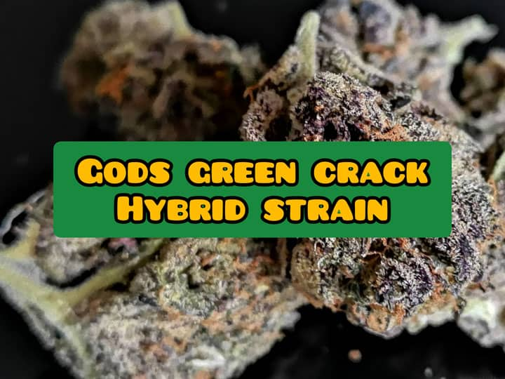 gods green crack weed strain review