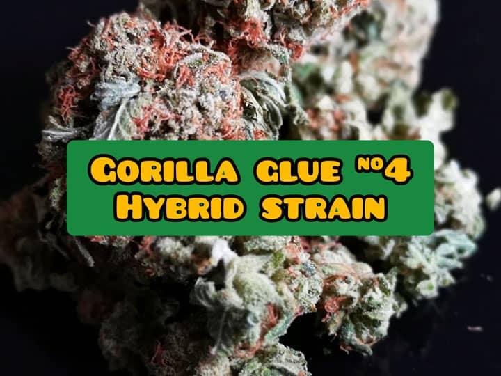 gorilla glue strain info and review